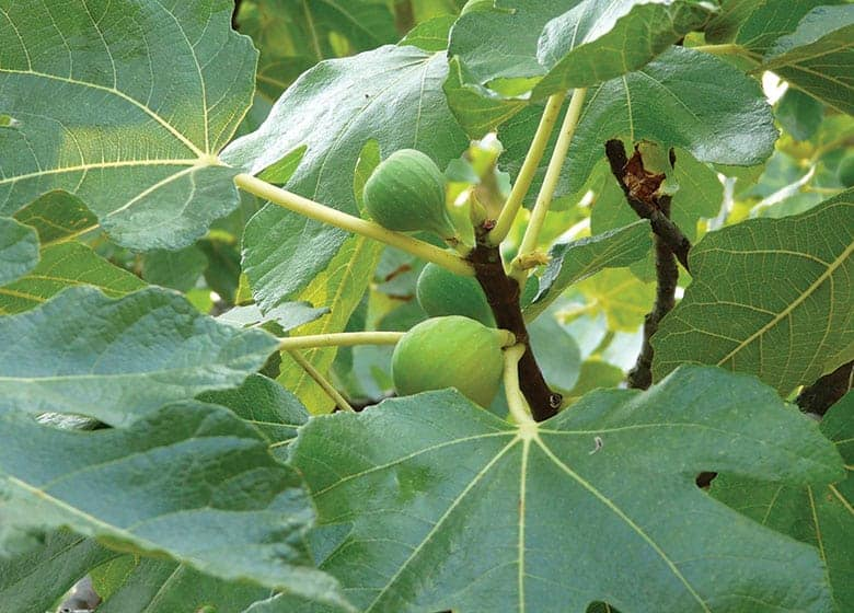 Best Fruit Trees To Grow In Florida (14 easy to grow trees)
