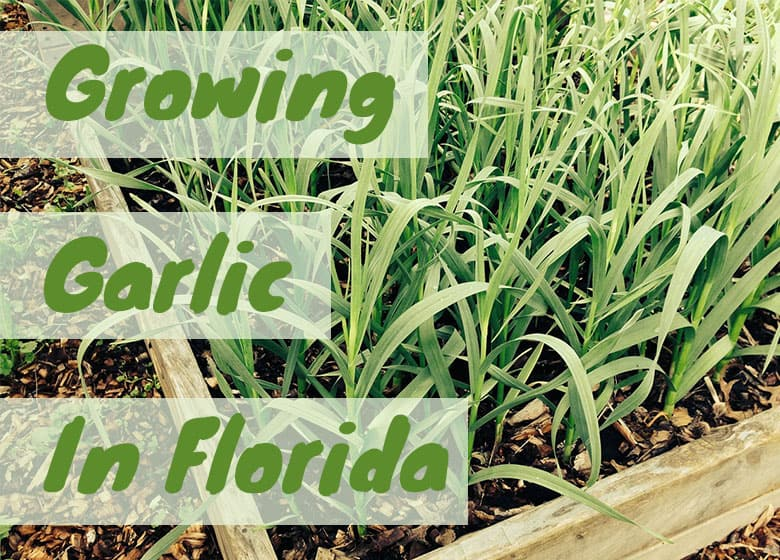 Grow Garlic In Florida Is It Possible