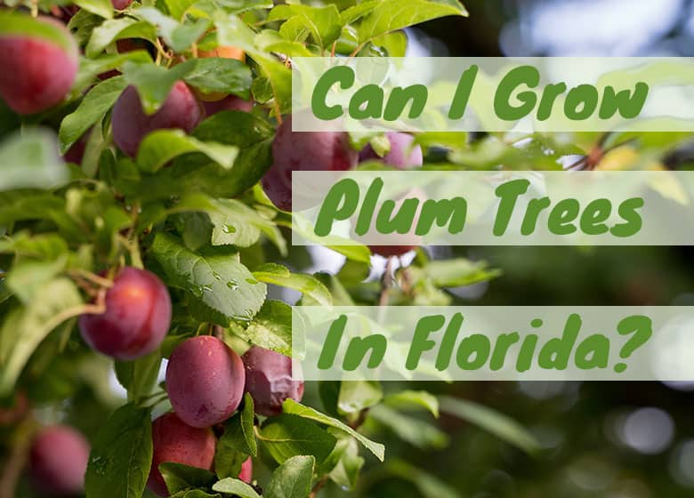 Can You Grow A Plum Tree In Florida Choose Gulf Types